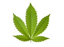 Marijuana or cannabis leaf. Marijuana or cannabis leaf on a white studio background Stock Images
