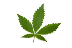 Marijuana or cannabis leaf. Marijuana or cannabis leaf on a white studio background royalty free stock image