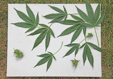 Marijuana Cannabis Leaves Canvas on Green grass Stock Image