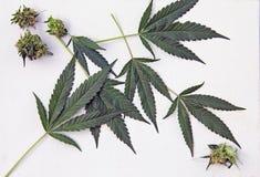 Marijuana Cannabis Leaves white background Stock Images