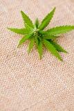 Marijuana - Cannabis - Medicinal stock image