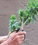 Marijuana Cannabis plant harvested by senior citizen Stock Images