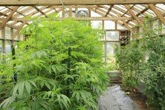 Marijuana (cannabis), usine de chanvre s'élevant à l'intérieur de du vert ho image libre de droits