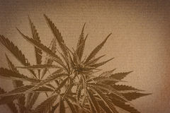 Marijuana on cardboard background. cannabis on a paper . Stock Photo