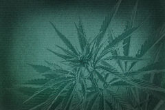 Marijuana  background. cannabis on a paper texture. Royalty Free Stock Images