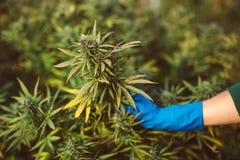 CBD cannabis strain medical. Marijuana CBD cannabis strain medical plant farm leaf weed royalty free stock photos