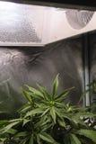 Marijuana che cresce nell'ambito della luce Fotografie Stock Libere da Diritti