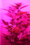 Marijuana. A close up view of a marijuana plant in mid bloom Stock Images