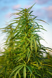 Marijuana crescente delle piante immagini stock