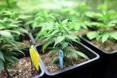 Marijuana crop. Growing indoors Stock Photos
