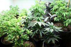 Marijuana crop. Growing indoors Stock Image