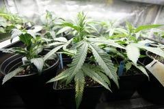 Marijuana crop. Growing indoors Royalty Free Stock Photos