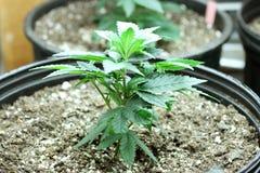 Marijuana crop stock image