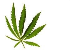 A marijuana da folha do cannabis em um fundo isolado dirigiu a luz no objeto fotos de stock royalty free