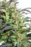 Marijuana do Close-up fotografia de stock royalty free