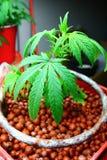 Marijuana domestica Culitvation di Mediciinal Fotografia Stock