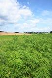 Marijuana e cielo blu Immagine Stock Libera da Diritti