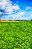 Marijuana e cielo blu Fotografie Stock Libere da Diritti
