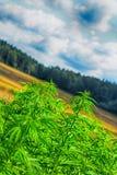 Marijuana e cielo blu Fotografie Stock