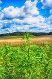 Marijuana e cielo blu Immagine Stock