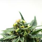 Marijuana eller krukväxt på cannabislantgård Arkivfoton