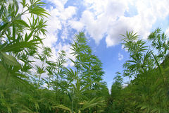Marijuana Field Stock Photography