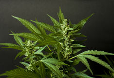 Marijuana flower close up wallpaper. Marijuana cannabis flower close up wallpaper stock image