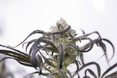 Marijuana flowering buds ( cannabis), hemp plant. Very large indoor weed harvest. Royalty Free Stock Images