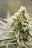 Marijuana flowering buds ( cannabis), hemp plant. Very large indoor weed harvest. Stock Photography