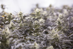 Marijuana flowering buds ( cannabis), hemp plant. Very large indoor weed harvest. stock photo