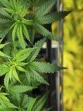 Marijuana. Foliage, Cannabis plant background Stock Images