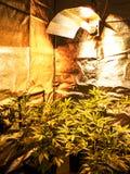 Marijuana. Foliage, Cannabis plant background Royalty Free Stock Photography