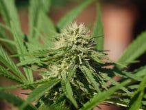 Marijuana plant Stock Photo