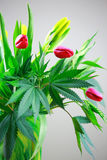 Marijuana green fresh large leafs ( cannabis), hemp plant in a n. Ice spring flower bouquet with pink tulips and daffadils Royalty Free Stock Photography