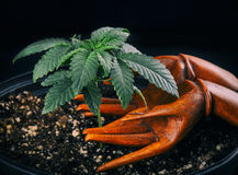 Marijuana growing and care concept stock photography