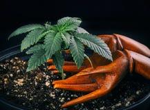 Marijuana growing and care concept Stock Photography
