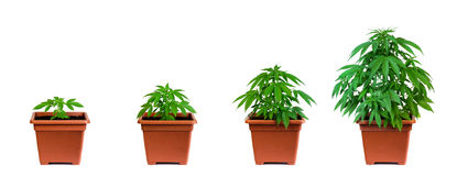 Marijuana growing phase stock photography
