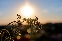 Marijuana. Hemp. Cannabis. Cannabis in the sunset sun and on a blurred background. Marijuana bush for the treatment of patients an stock photo