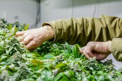 A marijuana interna cresce a sala com aparagem das mãos fotos de stock