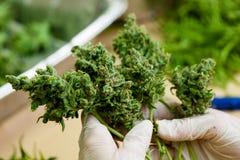 Marijuana interna que guarda os botões foto de stock