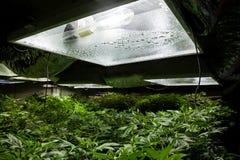 A marijuana interna típica cresce a sala com luzes foto de stock