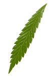 Marijuana leaf. Isolated on a white royalty free stock photos