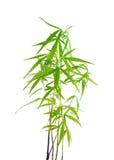 Marijuana leaf Stock Image