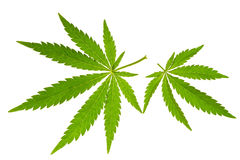 Marijuana leaf. Isolated on white stock photos