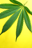 Marijuana leaf Royalty Free Stock Photo