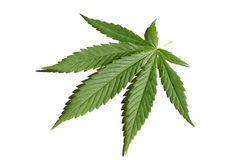 Marijuana Leaf. Marijuana (cannabis)leaf on the white background stock photography