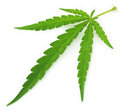 Marijuana Leaf Imagen de archivo