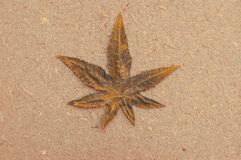 Marijuana leaf. Close up with selective focus of a marijuana leaf on wood royalty free stock image