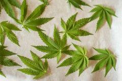 Marijuana leaf. Drying marijuana leaves for tea Stock Image