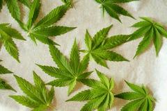 Marijuana leaf. Drying marijuana leaves for tea Stock Photo